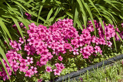 Sorrel in garden. Picture of the beautiful Pink Sorrel stock image