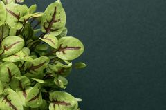 Sorrel. Green background. Micro greens. Sorrel Green background royalty free stock photos