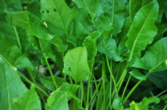 Sorrel green layer. Sorrel layered green close up, growing in garden area Stock Image