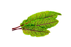 Sorrel green with red veins. Three leaves of sorrel green with red veins isolated on white background royalty free stock photos