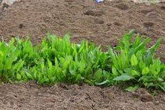 Sorrel grows on the kitchen garden. Green sorrel grows on the kitchen garden Stock Image