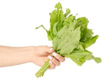 Sorrel in hand. On white background isolation Stock Photography
