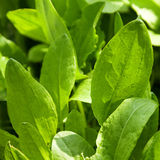 Sorrel herb Royalty Free Stock Photos