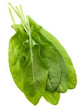 Sorrel herb Stock Image