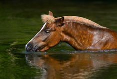 Sorrel Highland pony drinking in a pond Royalty Free Stock Images