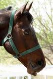 Sorrel horse Royalty Free Stock Photography