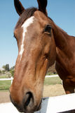 Sorrel horse Royalty Free Stock Photos