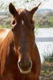 Sorrel horse. Head sorrel horse close up Stock Photography