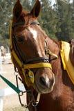 Sorrel horse Stock Photos