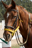 Sorrel horse Royalty Free Stock Image