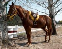 Sorrel horse Royalty Free Stock Photo