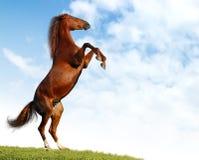 Sorrel horse. Sorrel mare rear in a floor Royalty Free Stock Photo
