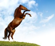 Sorrel horse Royalty Free Stock Images