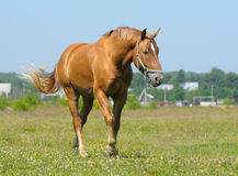 Sorrel horse. Big sorrel horse in field Stock Photo