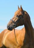 Sorrel horse. The portrait of sorrel horse Stock Photos