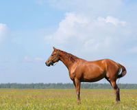 The sorrel horse. In field Royalty Free Stock Photos