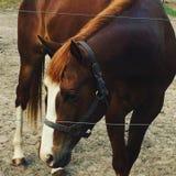 Sorrel horse. Beautiful sorrel horse in a pasture looking stock images