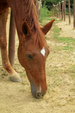 Sorrel horse in a corral on farm eating grass Royalty Free Stock Photography