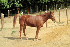 Sorrel horse in a corral on farm Stock Image