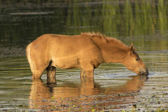 Sorrel horse drinking water. Sorrel foal drinking water on watering place stock images
