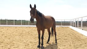 Sorrel horse in the enclosed pasture, sunny day, blue sky. Beautiful thoroughbred horse regards with curiosity at you stock video footage