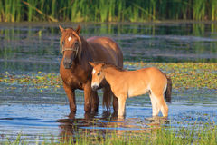 Sorrel horse and foal drink on the bog. Sorrel horse and foal drink water on the bog stock images