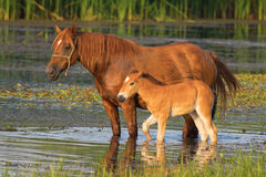 Sorrel horse and foal drink water on the bog. Sorrel horse and foal drink on the pond royalty free stock photos
