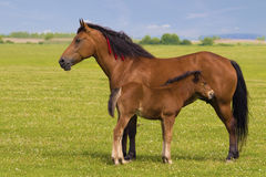 Sorrel horse and foal. On the floral meadow Stock Images
