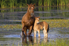 Sorrel horse and foal. Sorrel mother horse and foal in the pond royalty free stock images