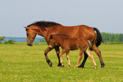 Sorrel horse and foal trot on the meadow. Sorrel horse and foal trot on the floral meadow stock image