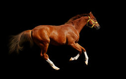 Sorrel horse gallops. Isolated on black Royalty Free Stock Image