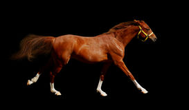 Sorrel horse gallops. Isolated on black Stock Photography