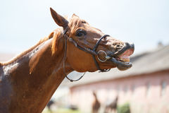 Sorrel horse gives a smile Stock Photography