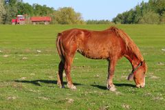 Sorrel horse graze on the pasure. Sorrel horse with bell graze on the field Royalty Free Stock Photography