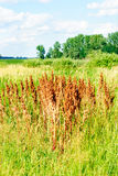 Sorrel horse on a green and blue sky background. Rumex acetosa Stock Photos