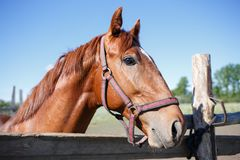 Sorrel horse looking out over fence of paddock.  stock photos