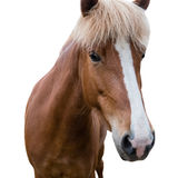 Sorrel horse with a mark on the muzzle. Close up. Isolated. Sorrel horse with a mark on the muzzle. Facial markings. Close up. Isolated royalty free stock photos