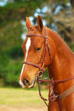 Sorrel horse portrait. Outdoor head portrait of a beautiful sorrel horse with headgear on a course outdoors Royalty Free Stock Images