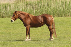 Sorrel horse Stock Photography