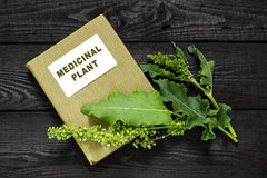 Sorrel horse (Rumex confertus, Asiatic Dock) and directory medic. Medicinal plant Sorrel horse (Rumex confertus, Asiatic Dock) and herbalist handbook. Used in stock images