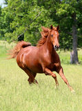 Sorrel Horse Running Stock Photo