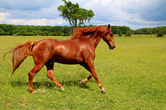 Sorrel Horse Running. In Summer Pasture Royalty Free Stock Images