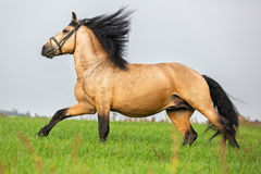 Sorrel horse runs gallop in meadow. Beautiful sorrel stallion runs gallop in meadow Royalty Free Stock Photo