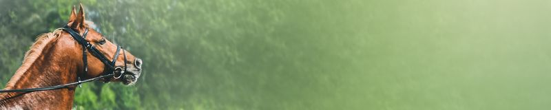 Sorrel horse during showjumping competition. Horizontal photo banner for website header design. E view head shot of a beautiful chestnut stallion. Blur green stock images