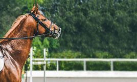 Sorrel horse during showjumping competition. Side view head shot of a beautiful chestnut stallion. Blur green trees and sun rays as background. Copy space for royalty free stock photo