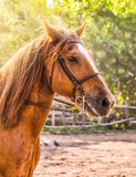Sorrel horse. Side view head shot of a bay stallion. Portrait of a thoroughbred bridled horse, blur green trees background, selective focus. Equestrian sport Stock Photography
