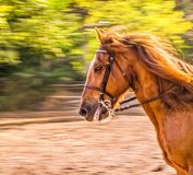 Sorrel horse. Side view head shot of a running bay stallion. Portrait of a thoroughbred bridled horse, blur motion green trees background, selective focus Royalty Free Stock Image