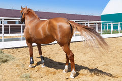 Sorrel horse stands in the paddock near the stables.  stock images