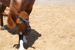 Sorrel horse tilted his head in greeting.  stock photography