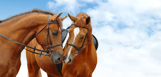Sorrel horses. Two sorrel horses against a background sky stock photos